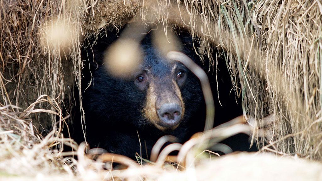 how maine black bears hibernate