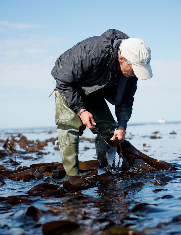 Shep Erhart of Maine Coast Sea Vegetables harvests seaweed.