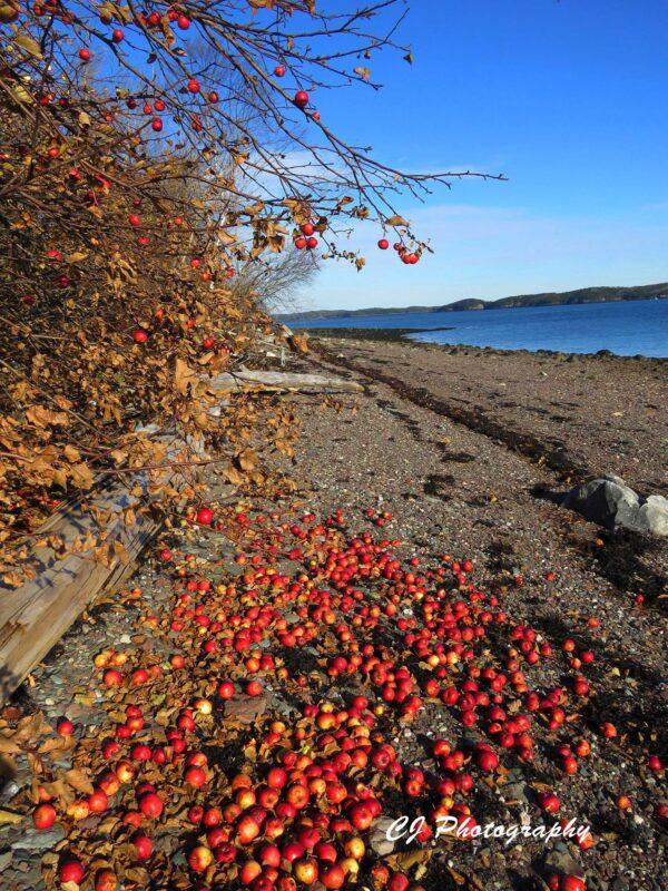 Gleason Cove apples 1