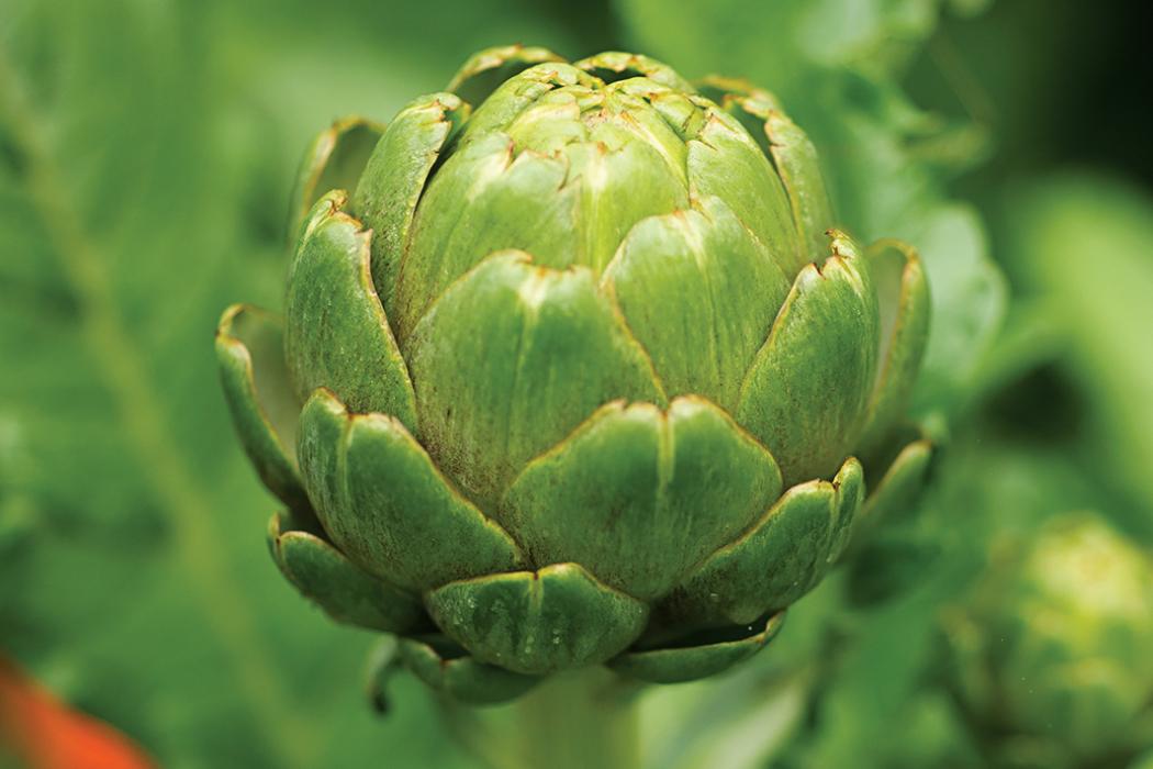 artichoke in garden