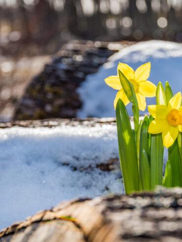Spring Fights Back-Narcissus-DE Mag