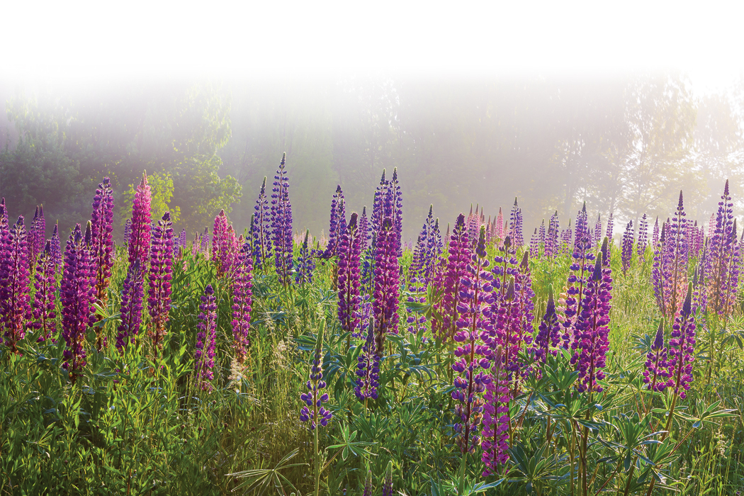 Lupines maine events