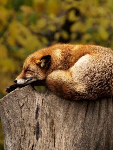 fox alseep on tree stump