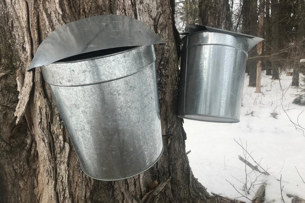 Maine maple syrup, sap buckets