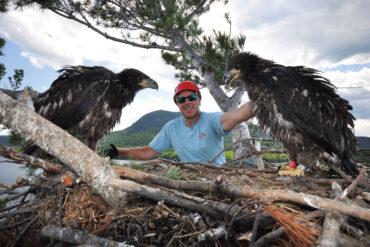 Maine bald eagles