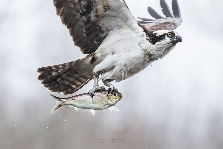 Osprey's beautiful glance