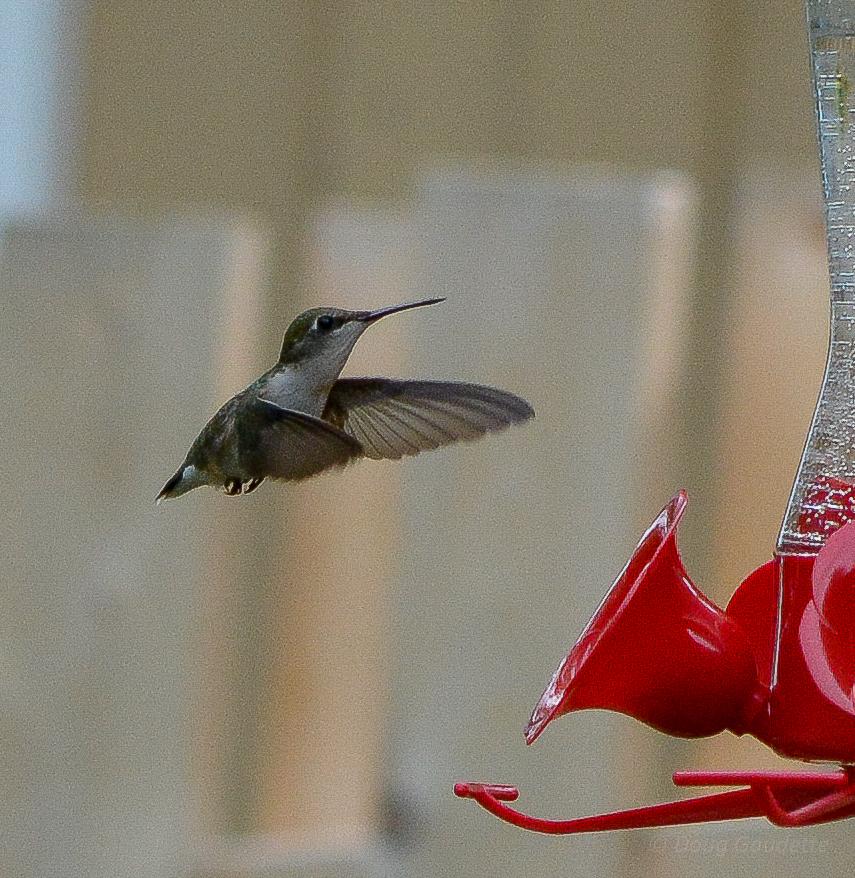 Hummingbird at feeder 5-1