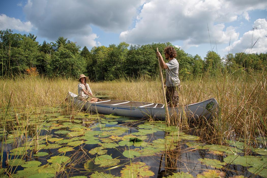 wild rice harvesting in Maine