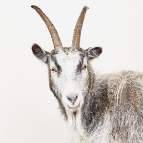 How to Build an Icelandic goat