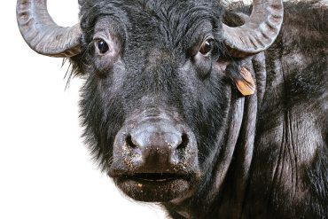 Water buffalo at ME Water Buffalo Co. in Appleton