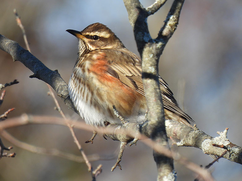 A redwing, a Eurasian visitor, that Matthew Gilbert photographed this winter.