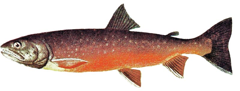 Know Your Native Maine Fish   Down East Magazine