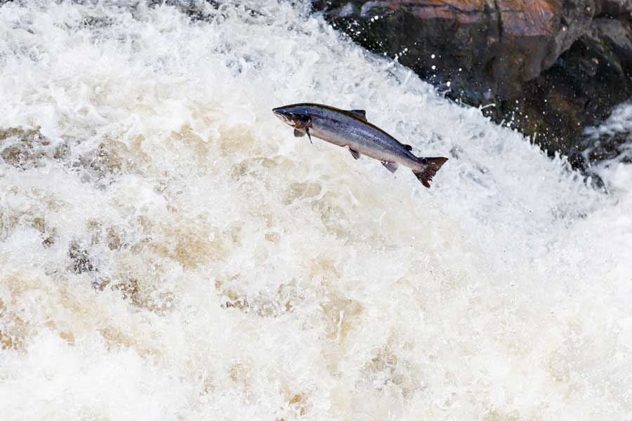 The endangered wild Atlantic salmon were once abundant in Maine. Wyman's has worked with Project SHARE to restore salmon habitat on stretches of the Narraguagus River that run through its land.