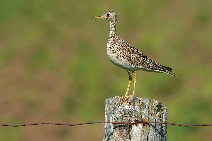 Wild-blueberry barrens provide ideal habitat for upland sandpipers.